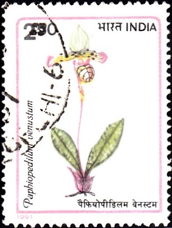 1303-paphiopedilum-venustum-orchids-of-india