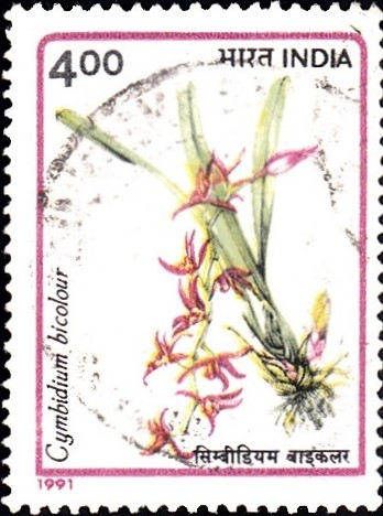 1305-cymbidium-bicolour-orchids-of-india
