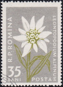 1164 Leontopodium Alpinum [Carpathian Mountain Flower]