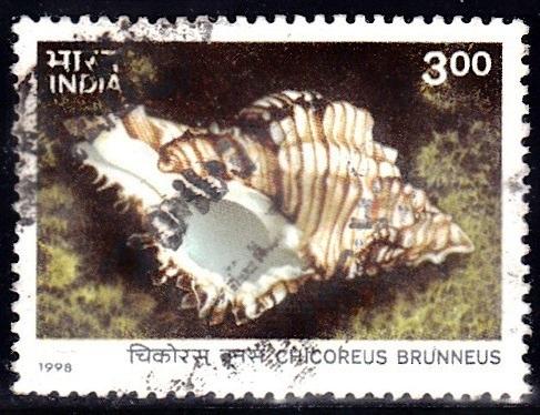 Chicoreus Brunneus