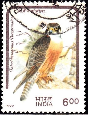 Falco peregrinus peregrinator