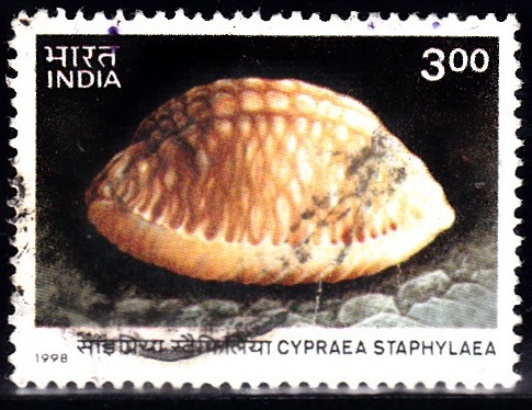 Cypraea Staphylaea