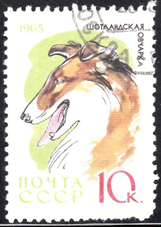 8. Collie [Dog]