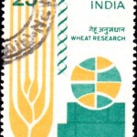 India on Wheat Research 1978