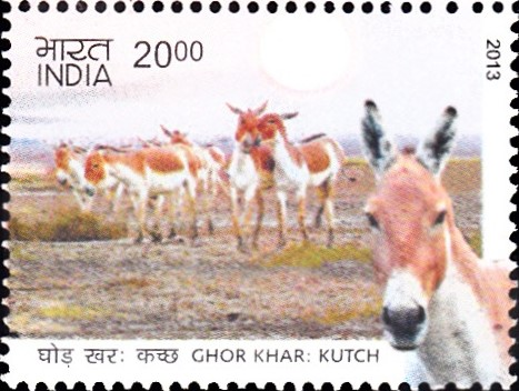 Indian onager (Equus hemionus khur)