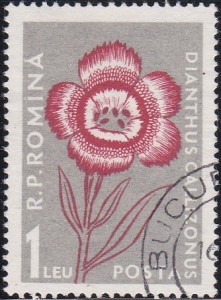 1166 Dianthus Callizonus [Carpathian Mountain Flower]