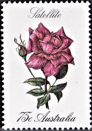 Rosa 'Satellite'