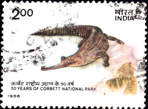 Gharial (Gavialis gangeticus) : Jim Corbett National Park