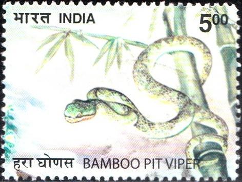 Indian Green Pit Viper (Trimeresurus gramineus)