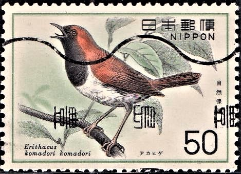 Japanese (Ryukyu) Robin (Komadori) : Japanese Domestic Bird