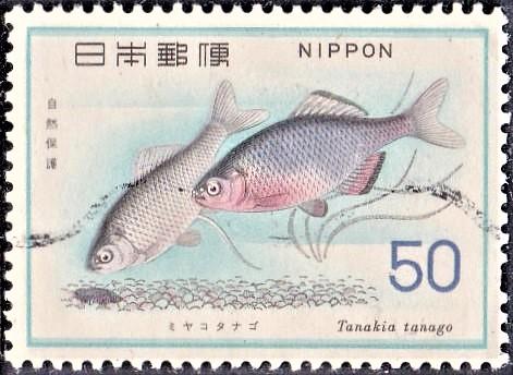 Tanakia (Rhodeus) tanago : temperate freshwater carp fish