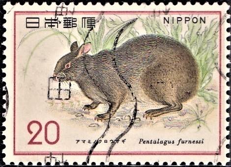 Amamino Kuro Usagi : Ryukyu Rabbit