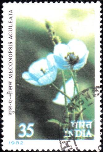 Blue Poppy : Meconopsis