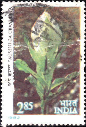 Brahma Kamal