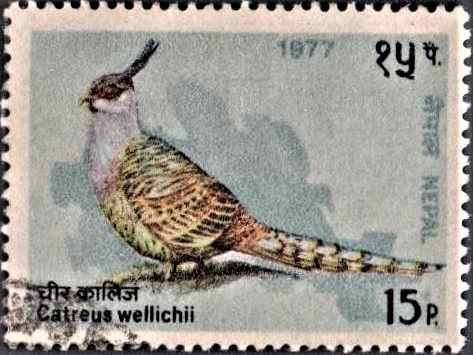 Cheer Pheasant : Wallich's Landfowl