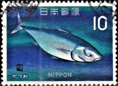 Striped Tuna : Katsuwonus pelamis