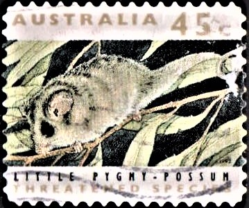 Tasmanian pygmy possum (Cercartetus lepidus)
