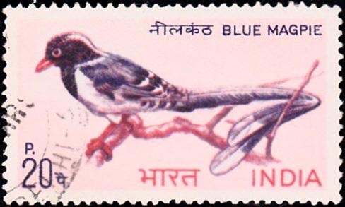 Red-billed blue magpie (Urocissa erythroryncha)