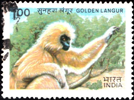 Gee's golden langur : Old World Monkey