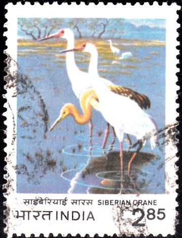 International Crane Foundation : Siberian White Crane (Snow Crane)