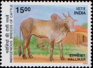 Cow : Hallikar