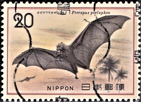 Bonin Flying Fox (fruit bat) : Ogasawara Giant Bat