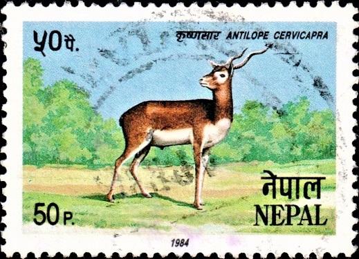Blackbuck : Krishnasar (Krishna Mriga)