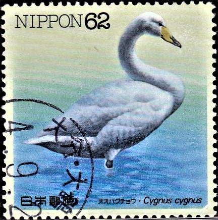 Whooper Swan (common swan)