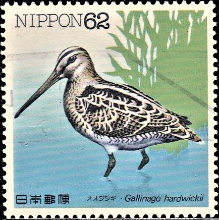 Japanese Snipe : East Asian-Australasian Flyway