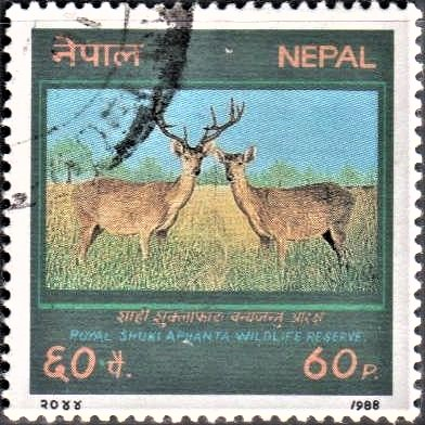 Shukla Phanta National Park : Barasingha (swamp deer)