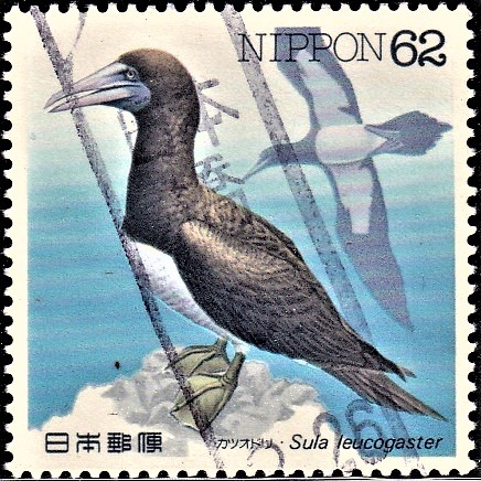 Brown Booby (large seabird)
