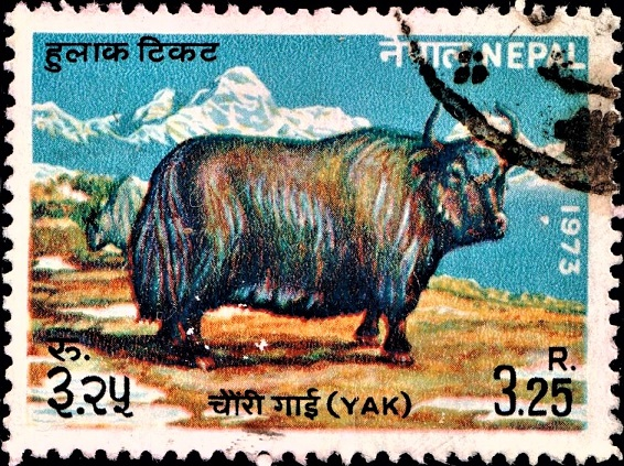 Domestic Yak : long-haired bovid from Himalayas